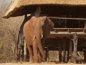 rhino-safari-camp-rooms-elephant-visitor